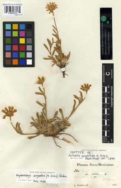 Actinella argentea A. Gray
