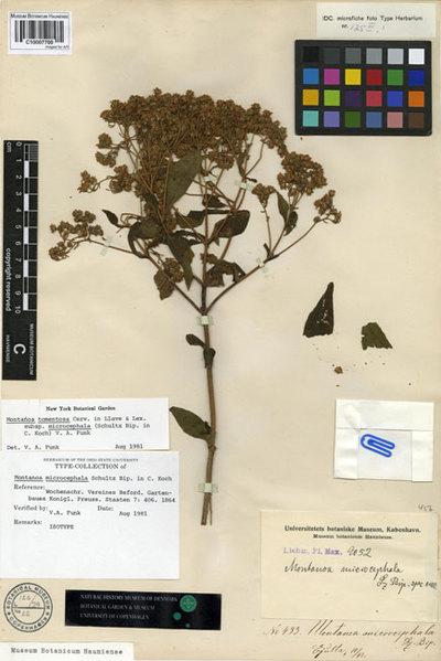 Montanoa microcephala Sch. Bip.