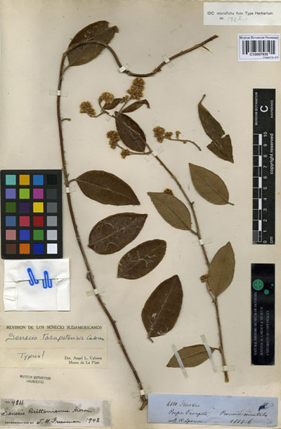 Senecio tarapotensis Cabrera