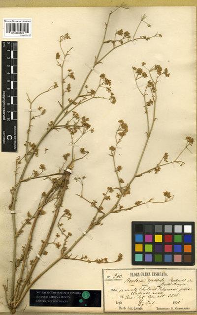 Reutera rigidula Boiss. & Orph.