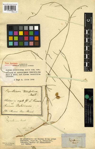 Physostemon tenuifolium Mart. & Zucc.