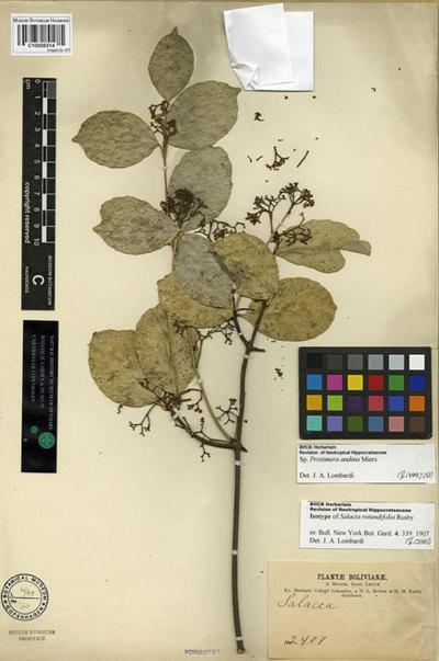 Salacia rotundifolia Rusby
