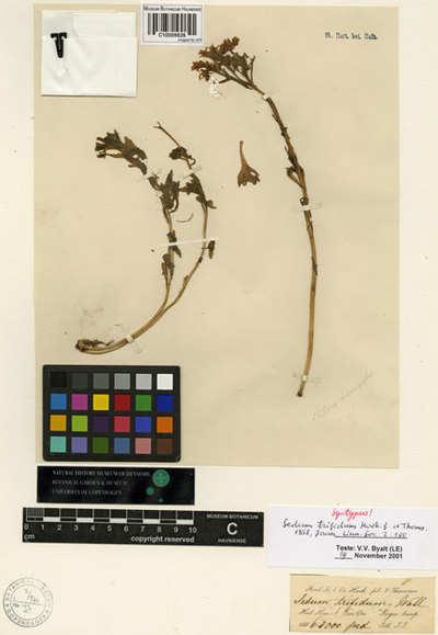 Sedum trifidum Hook. f. & Thomson