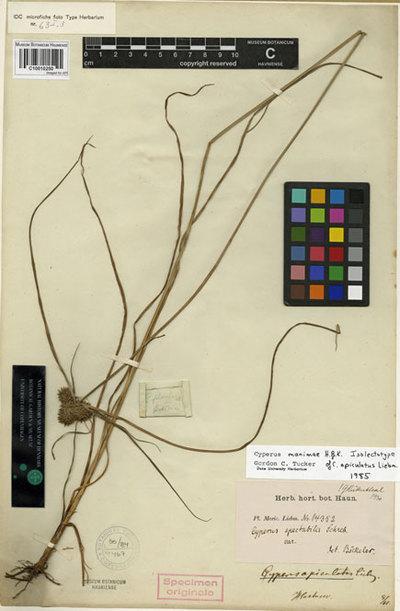 Cyperus apiculatus Liebm.