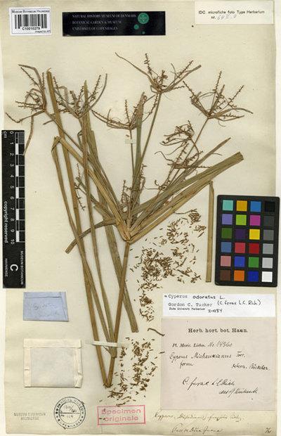Cyperus fragilis Liebm.
