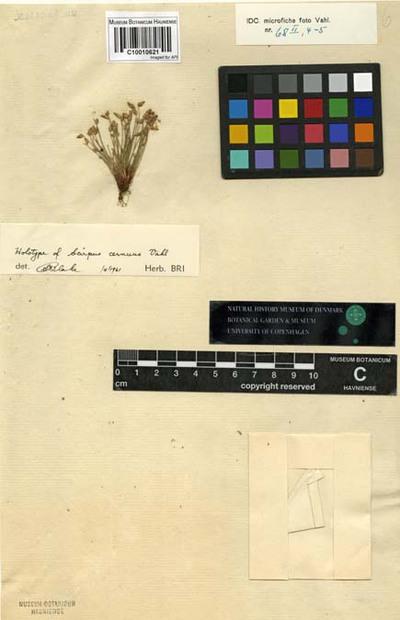 Scirpus cernuus Vahl