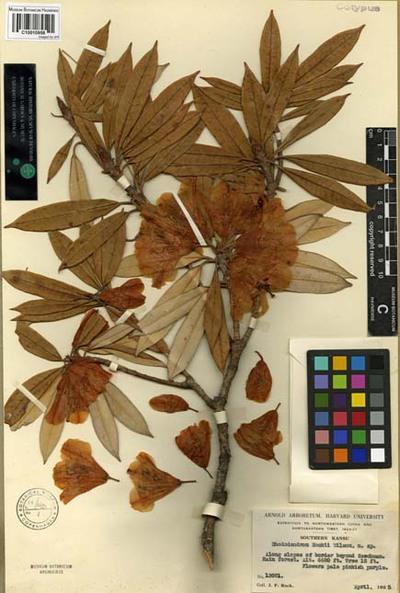 Rhododendron rockii E.H. Wilson