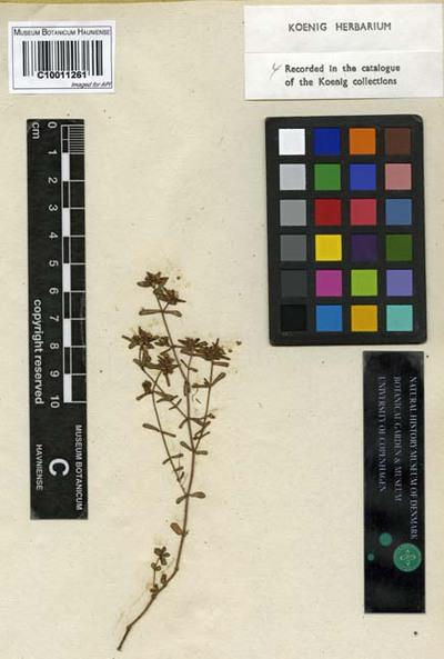 Euphorbia rosea Retz.