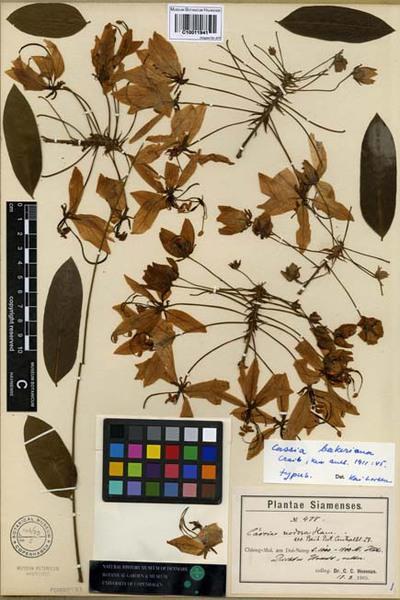 Cassia bakeriana Craib