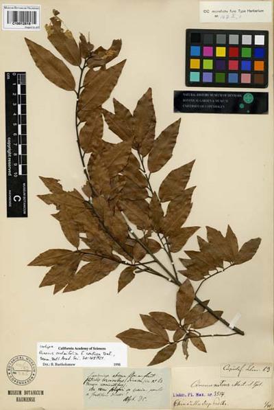 Quercus ocoteifolia Liebm.