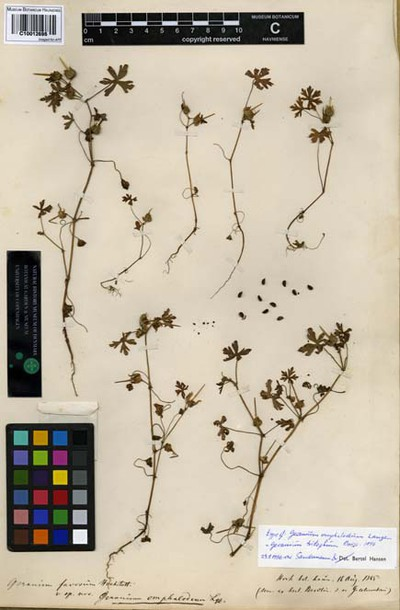 Geranium omphalodeum Lange