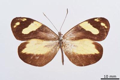 Dismorpha medorata Fruhstrorfer