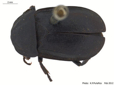 Silpha tyrolensis Laicharting 1781