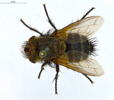 Pseudogonia fasciata Wiedemann 1819