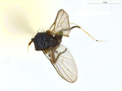 Ophiomyia rotata (Spencer 1965