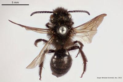 Andrena pilipes Fabricius 1781