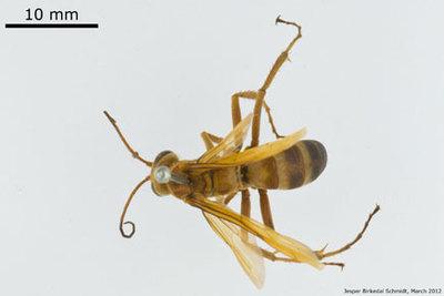 Poecilopompilus fulvus (Fabricius 1804