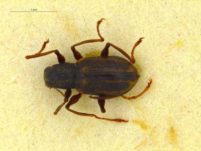 Microdinodes dahli Delève 1963
