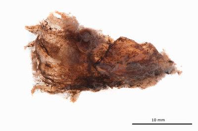 Vampyroteuthis infernalis Chun 1903