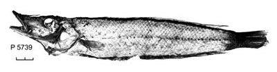 Cheilio inermis (Forsskål, 1775)
