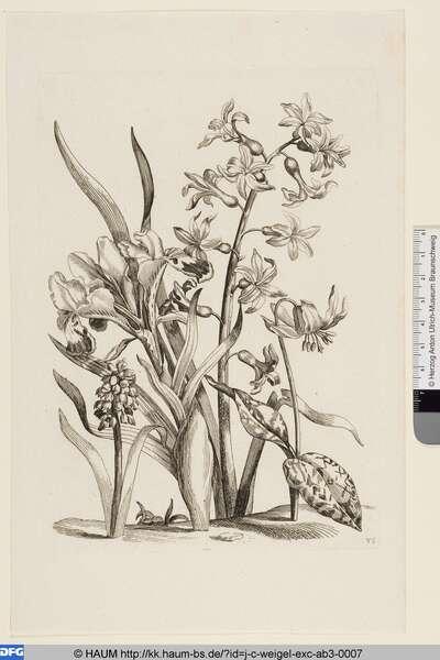 Hyazinthe, Iris und Hundszahn