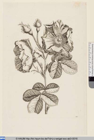 Französische Rosen