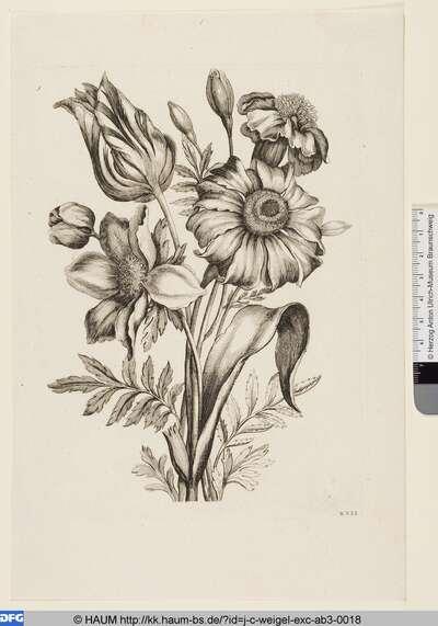 Tulpe und Anemone