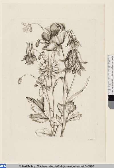 Ranunkeln, Anemone und Akeleien