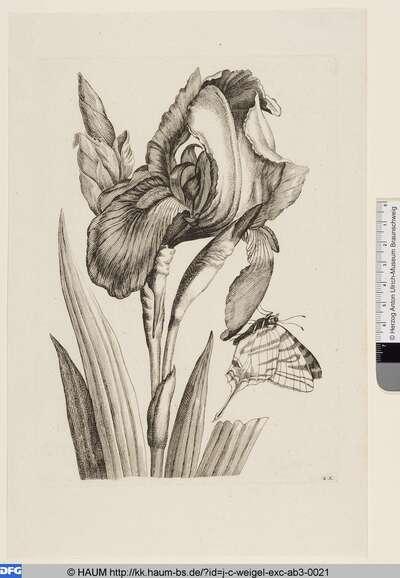 Schwertlilie mit Schmetterling