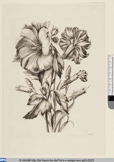 Große Nelke