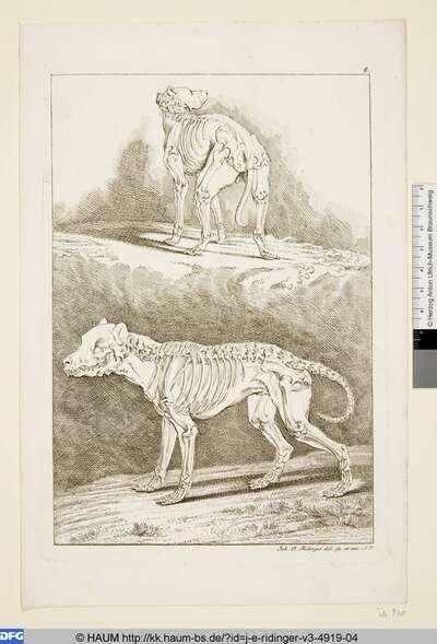 Zwei Skelette von Hunden
