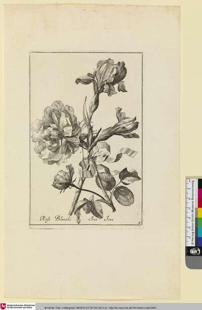 Rose Blanche; Iris Ione