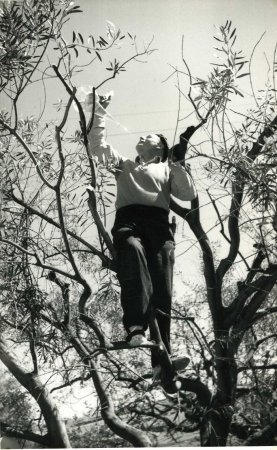 Concurs de poda d'oliveres