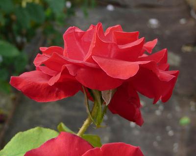 Rosa 'Roelof Buisman'