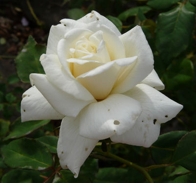 Rosa 'Summer Queen'