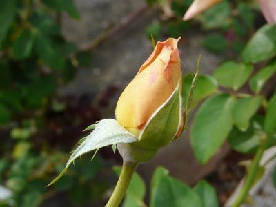 Rosa 'Bronze Masterpiece'