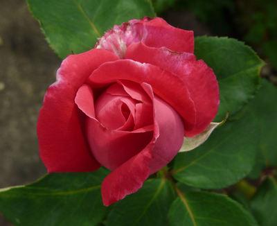 Rosa 'Baronne Finaz'