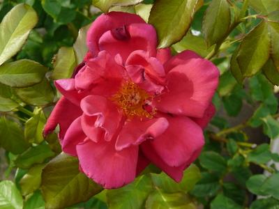 Rosa 'My Choice'