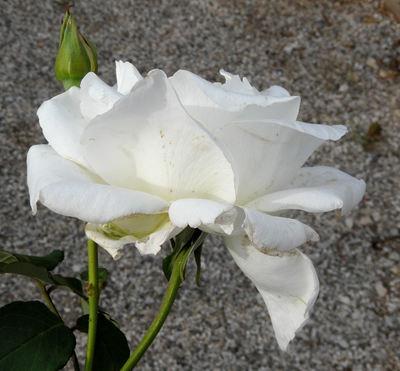 Rosa 'Mount Shasta'