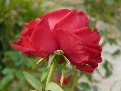 Rosa 'Sophia Loren ®'