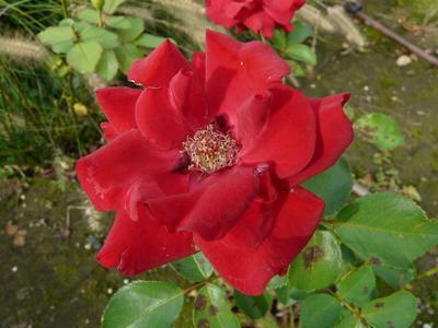 Rosa 'John Waterer ®'
