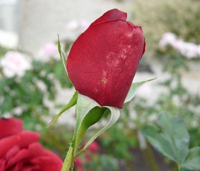 Rosa 'Appreciation'