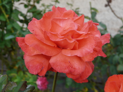 Rosa 'Tanagra ®'