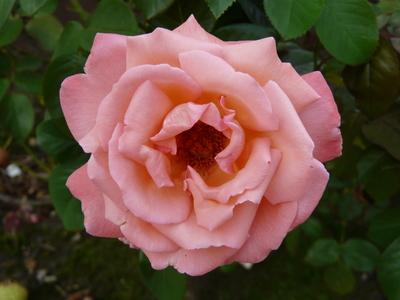 Rosa 'Vedette ®'