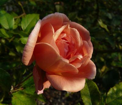 Rosa 'Comtesse du Cayla'