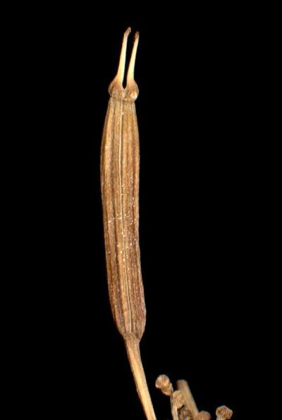 Chaerophyllum hirsutum L. subsp. villarsii (W.D.J. Koch) Arcang.