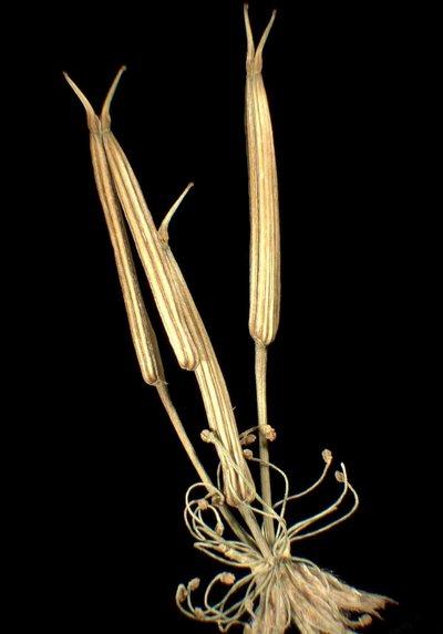 Chaerophyllum hirsutum L. subsp. hirsutum