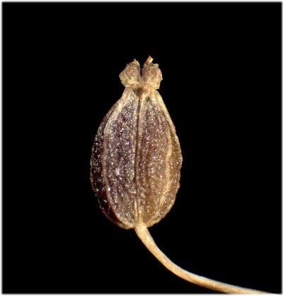Pimpinella major (L.) Huds.