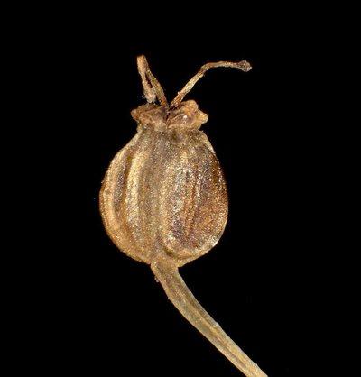 Pimpinella saxifraga L.