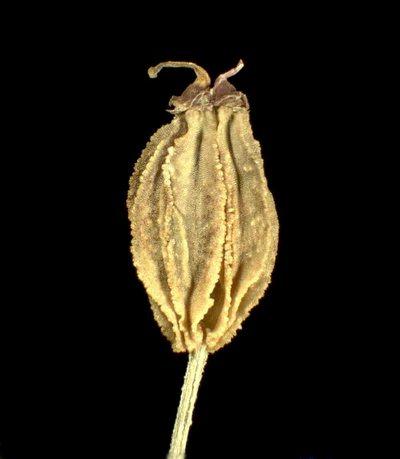 Pleurospermum austriacum (L.) Hoffm.